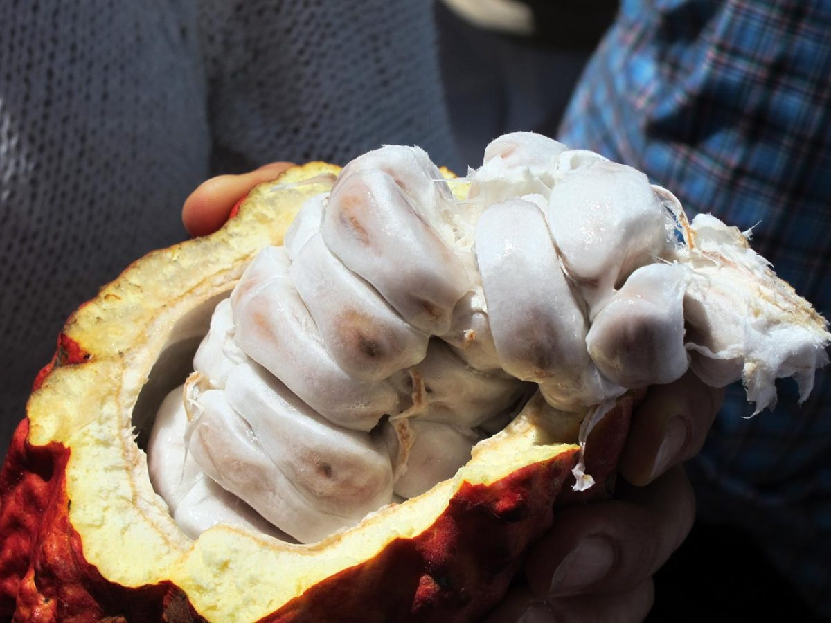 Granos-blancos-de-cacao